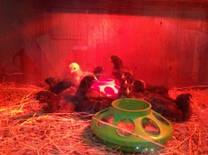One Week Old Chicks Enjoying the Space